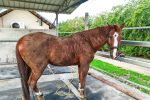 Talo the horse after rolling in the mud
